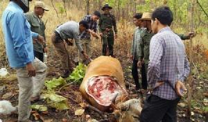 เขมรอำมหิตฆ่าตัดหัววัวแดงตัวใหญ่เย้ยกฎหมาย ใส่ปิกอั๊พ จนท.ย้อนเสียงปืนไปลากคอส่งคุก
