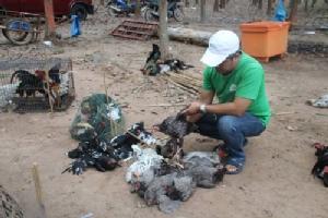 """หันพึ่งตนเอง..ชาวกันทรลักษ์เลี้ยงไก่บ้านในสวนยาง เปิด """"ตลาดนัดไก่"""" ขายแก้วิกฤตราคายางตกต่ำ"""