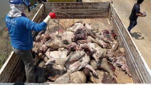 ทิ้งหมูทำไม?!! ชาวบ้านดอนยาง ผวาพบซากหมูโยนทิ้งคลองชลประทานนับ100 ชิ้น