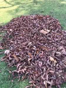 คาราวานจิตอาสาเมืองน้ำดำเก็บเมล็ดยางนาเพาะพันธุ์ปลูกต้นไม้ในใจคน