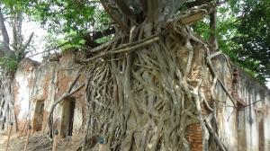 มหัศจรรย์ความงาม 'ต้นโพธิ์ล้อมโบสถ์' วัดสังกระต่าย เมืองอ่างทอง