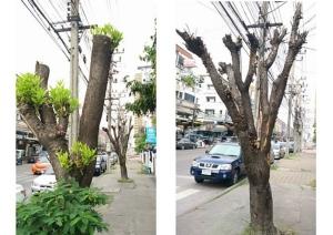 """""""ต้นไม้ใหญ่ในเมือง"""" เหลือแต่ตอ จะรอดหรือ?  ตัดแต่งช่างแตกต่างนานาประเทศนัก!!"""