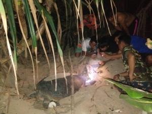 สุดดีใจ! แม่เต่าทะเลขึ้นวางไข่บนหาดนุ้ย เกาะสิมิลัน 106 ฟอง