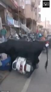 แตกตื่น! วัวหื่นอาละวาดหวังขยี้กามสาวซ้อนจักรยานยนต์ในอินเดีย (ชมคลิป)