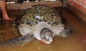 ตังเกเวียดนามติดเต่าทะเลยักษ์หนัก 200 กก.บ่นอุบสุดซวย-อวนขาดกระจุย