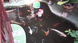 ฮือฮา! ปลาสวายเผือกวัดดังเมืองอ่างทอง