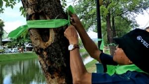 พรึบ! คนเชียงใหม่ผูกริบบิ้นเขียวต้นไม้ตลอดแนวรอบคูเมือง แสดงพลังปกป้องดอยสุเทพกรณีบ้านศาล