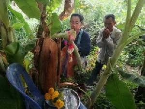 ชาวมุกดาหารแห่ขอเลขเด็ดกล้วยประหลาดออกลูกกลางต้น