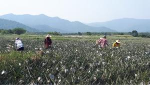สับปะรดล้นตลาดราคาตกต่ำ ทำเกษตรกรเดือดร้อน