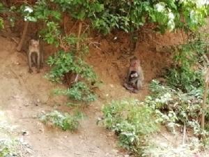สำนักบริหารพื้นที่อนุรักษ์ที่ 2 (ศรีราชา) เร่งแก้ปัญหาลิง ตามนโยบาย สนช.