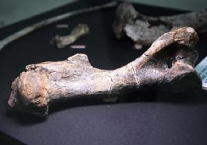 Fossilised Rhinoceros philippinensis