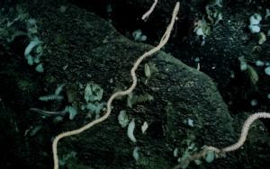 """เคยเห็นไหม! ชมภาพปะการังน้ำเย็นใต้ทะเลลึก 1,400 เมตร ผลงานจากเรือสำรวจใต้น้ำลึก """"เซินไห่ หย่งซื่อ"""""""