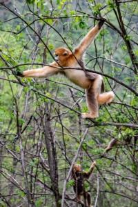ชมภาพฝูงลิงขนทองเริงร่ากลางอุทยานแห่งชาติเสินหนงจย้า