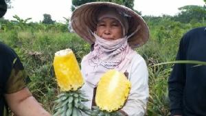 ตรา GI ช่วยไม่ได้..ชาวสวนสับปะรดโอดผลผลิตล้นตลาดขายได้แค่กิโลฯ ละ 2 บาท