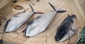"""ญี่ปุ่นฆ่าวาฬมิงค์ตั้งท้อง 122 ตัว นักอนุรักษ์โวย """"น่ารังเกียจและไม่จำเป็น"""""""