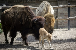 Bison gores woman at US national park