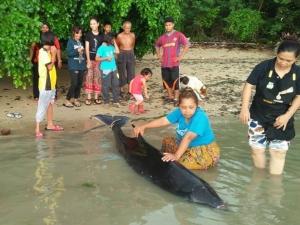 สลด! วาฬหัวทุย ถูกคลื่นซัดเกยหาดตาย ชาวบ้านพยายามยื้อช่วยชีวิต แต่ไม่สำเร็จ