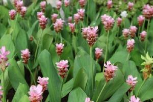"""ชวนชมดอกกระเจียวบานสะพรั่งใน """"เทศกาลปทุมมาราชินีป่าฝน"""" ณ """"เพลาเพลิน"""""""