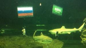 """จริงอะ! ปลาฉลาม """"เชียงใหม่ ซู อควาเรียม"""" ฟันธง """"ซาอุฯ"""" คว่ำ """"รัสเซีย"""" เจ้าภาพเปิดสนามบอลโลก"""