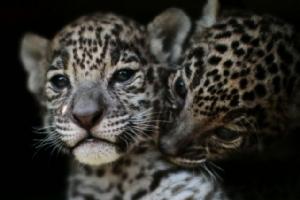 """ผลจากการอนุรักษ์ """"เสือจากัวร์"""" ในป่าเม็กซิโกเพิ่มขึ้น 20%"""