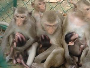 ป้องกันโรคอุบัติใหม่! สุ่มตรวจเลือดลิงแสมวัดป่าศิลาวิเวก เมืองมุกดาหาร