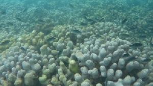 ทีมสำรวจปะการังเกาะทะลุ เกาะสิงห์ เกาะสังข์ อึ้ง! ปะการังฟอกขาวเสื่อมโทรมหนัก