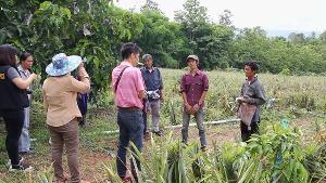 ระทมหนัก! สับปะรดพะเยาเน่าคาสวน กิโลฯ ละ 80 ตังค์ยังไม่มีคนซื้อ-แจกเด็กจนกินไม่ทัน