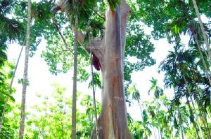 """ตะลึง! """"ต้นผึ้ง""""ยักษ์ กลางป่าหมาก จ.อุทัยธานี ลำต้นใหญ่ถึง 40 คนโอบ"""