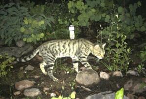 ออสเตรเลียเจอปัญหาแมวจรฆ่ากิ้งก่าในป่ากว่า 650 ล้านตัว