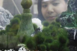 """เปิดตัว """"ไกก้อน"""" มาริโมะพันธุ์ไทยช่วยดูดซับสารพิษโลหะหนัก"""