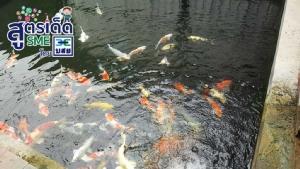 สยามปลาคาร์ฟ รุกหนักตลาดปลาสวยงาม  เพาะพันธุ์ส่งนอก สร้างรายได้เดือนละล้าน