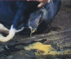 """พบป่วย """"โรคแท้งติดต่อในสัตว์"""" เพิ่ม ติดผ่านรอยแผล นมดิบจากสัตว์มีเชื้อ"""