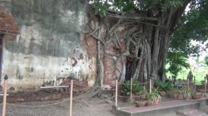 """เชิญชม 1 ใน 65 ต้นไม้สำคัญของชาติ ในงาน """"รุกข มรดก ของแผ่นดิน ใต้ร่มพระบารมี โพธิ์ล้อมโบสถ์"""" วัดสังกระต่าย"""
