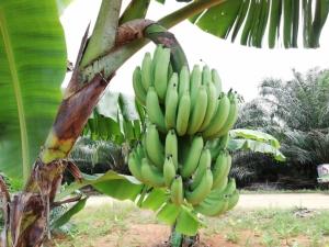 หัวใส! กล้วยหอมทองราคาตก ทำเป็นเค้กสูตรนึ่งโบราณ ขายผ่านเฟซบุ๊ก ออเดอร์ทะลัก
