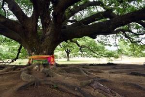 """อลังการเกินบรรยาย ชม""""ต้นจามจุรียักษ์"""" อายุกว่า 100 ปีที่เมืองกาญจนบุรี"""