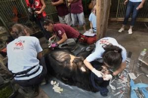 นักอนุรักษ์เร่งช่วยเหลือหมีในเวียดนาม หลังคนเลี้ยงปล่อยอดตายคากรงเหตุน้ำดีราคาตก