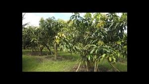 เยี่ยม! พ่อ-แม่-ลูกสมาร์ทฟาร์มเมอร์เชียงใหม่ปลูกมะม่วง-ลำไย-อินทผลัมเคมีเป็นศูนย์ขายได้ทั้งปี