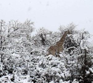 อากาศวิปริตในทุ่งหญ้าสะวันนา ทำช้าง,ยีราฟสัตว์เขตร้อนติดอยู่กลางหิมะ(ชมคลิป)