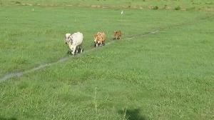 วัว 6 ขาให้โชคลาภที่อ่างทอง หลังเจ้าของเหมาฝูงมาเลี้ยงให้ลูกดกเงินทองไหลมาเทมา