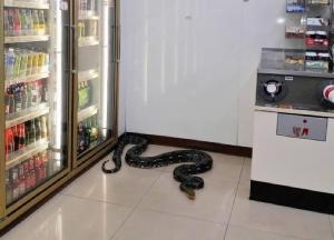 """หิวเมื่อไหร่ก็แวะมา! พบงูหลามตัวใหญ่นอนขดอยู่ใน """"เซเว่นอีเลฟเว่น"""" ย่านศรีราชา"""