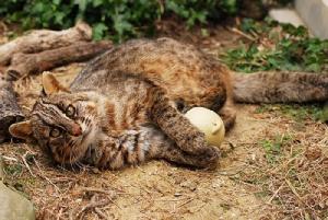 แมวดาวทสึชิมะ (ภาพจาก: JNTO โดย : Tsushima Wildlife Conservation Center)