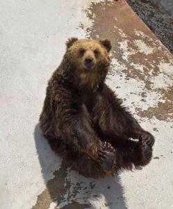 หมีสีน้ำตาลฮอกไกโด (ภาพจาก : JNTO โดย : flickr / Jason)