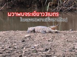 เตือนภัย! พบจระเข้ตัวยาว 3 เมตร นอนอ้าปากอาบแดดอยู่ในคลองหวะ ชานเมืองหาดใหญ่