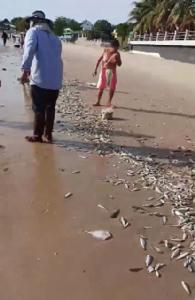 """ชาวบ้านแห่จับปลา หลังพบปรากฏการณ์น้ำเบียด """"หาดชะอำ"""" (ชมคลิป)"""
