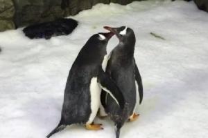 2 ตัวผู้เพนกวินคู่รักร่วมเพศแห่งสวนสัตว์น้ำซีไลฟ์อะควาเรียม ในออสเตรเลีย (HANDOUT / SEA LIFE SYDNEY AQUARIUM / AFP)