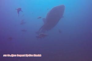 นักดำน้ำเฮ! ฉลามวาฬว่ายน้ำโชว์ตัวจุดดำน้ำซากเรือบุญสูง หน้าหาดเขาหลัก