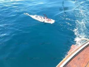 เศร้าใจ! เรือนำเที่ยวสตูลพบศพลูกโลมาลอยขึ้นอืดกลางทะเล