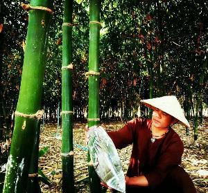 น้ำไผ่กิมซุง ตอบโจทย์คนรักสุขภาพ  ทางเลือกใหม่ของเกษตรกร