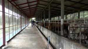 ฮือ! เกษตรกรโคขุนวอนย้ายปศุสัตว์พะเยา หลังสั่งปิดโรงเชือดสมาชิกกว่า 400 รายเดือดร้อนหนัก