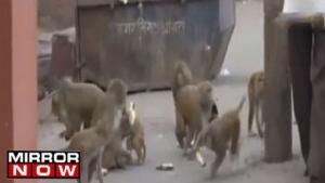 อินเดียช็อค!!ลิงฉกทารก12วันไปจากมือแม่ กัดศีรษะจนหนูน้อยเสียชีวิต